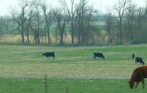 Missouri cows